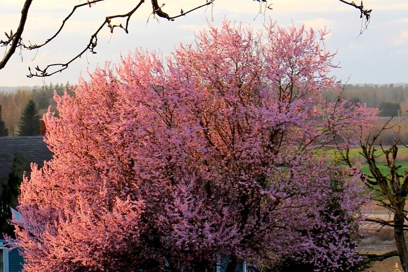 cherrysunset