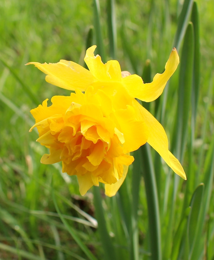 daffodil20141