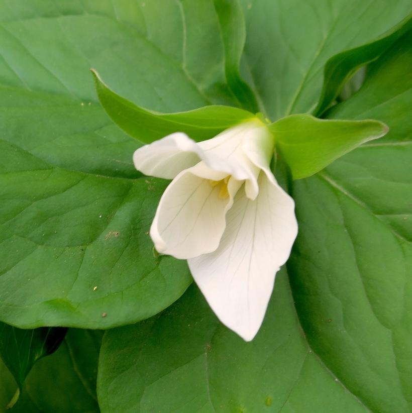 emergingtrillium