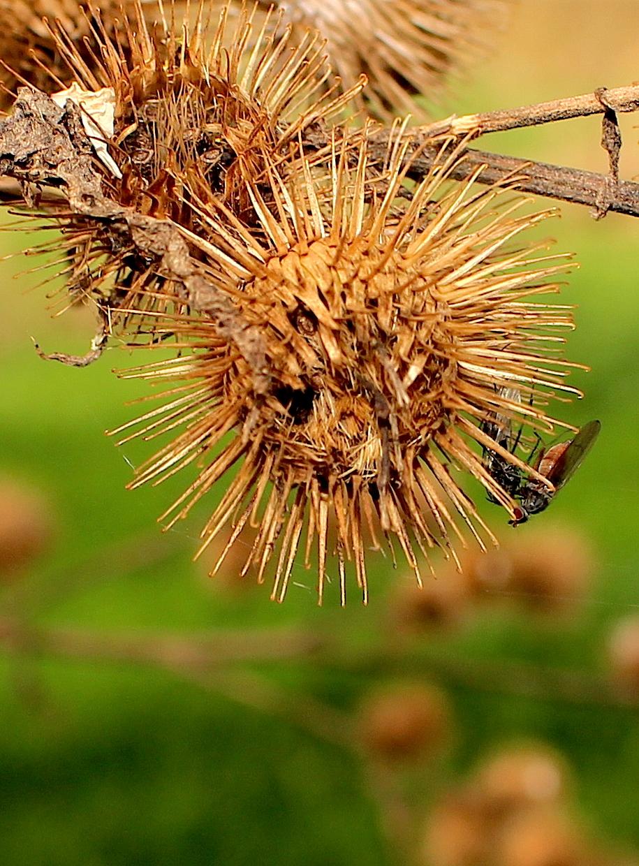 flyweed