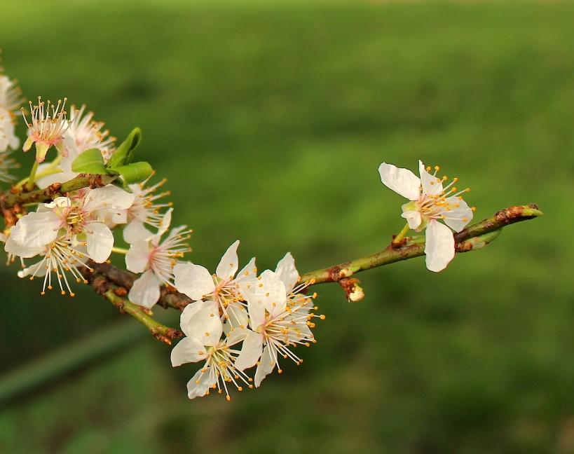 plumblossomapril