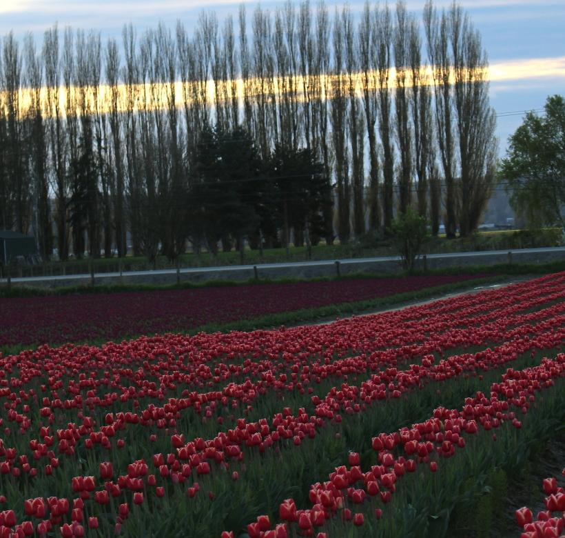 tulip16