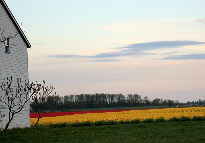 tulip20