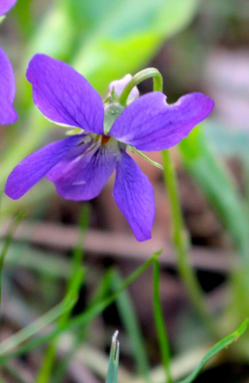 wildviolet
