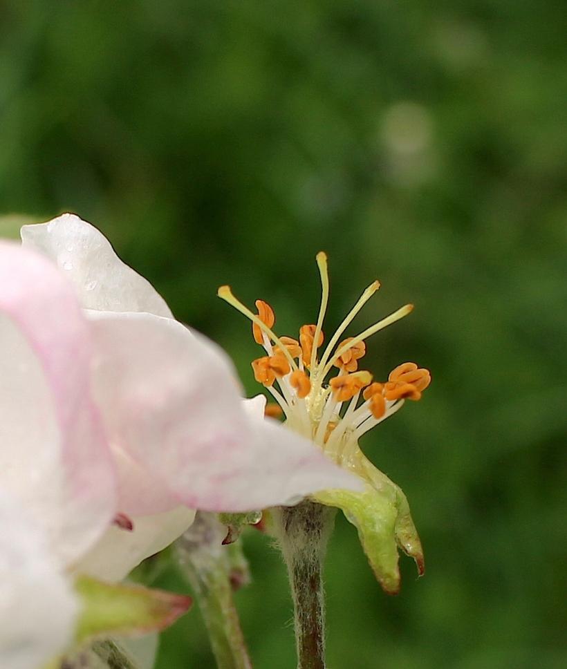appleblossomrain5