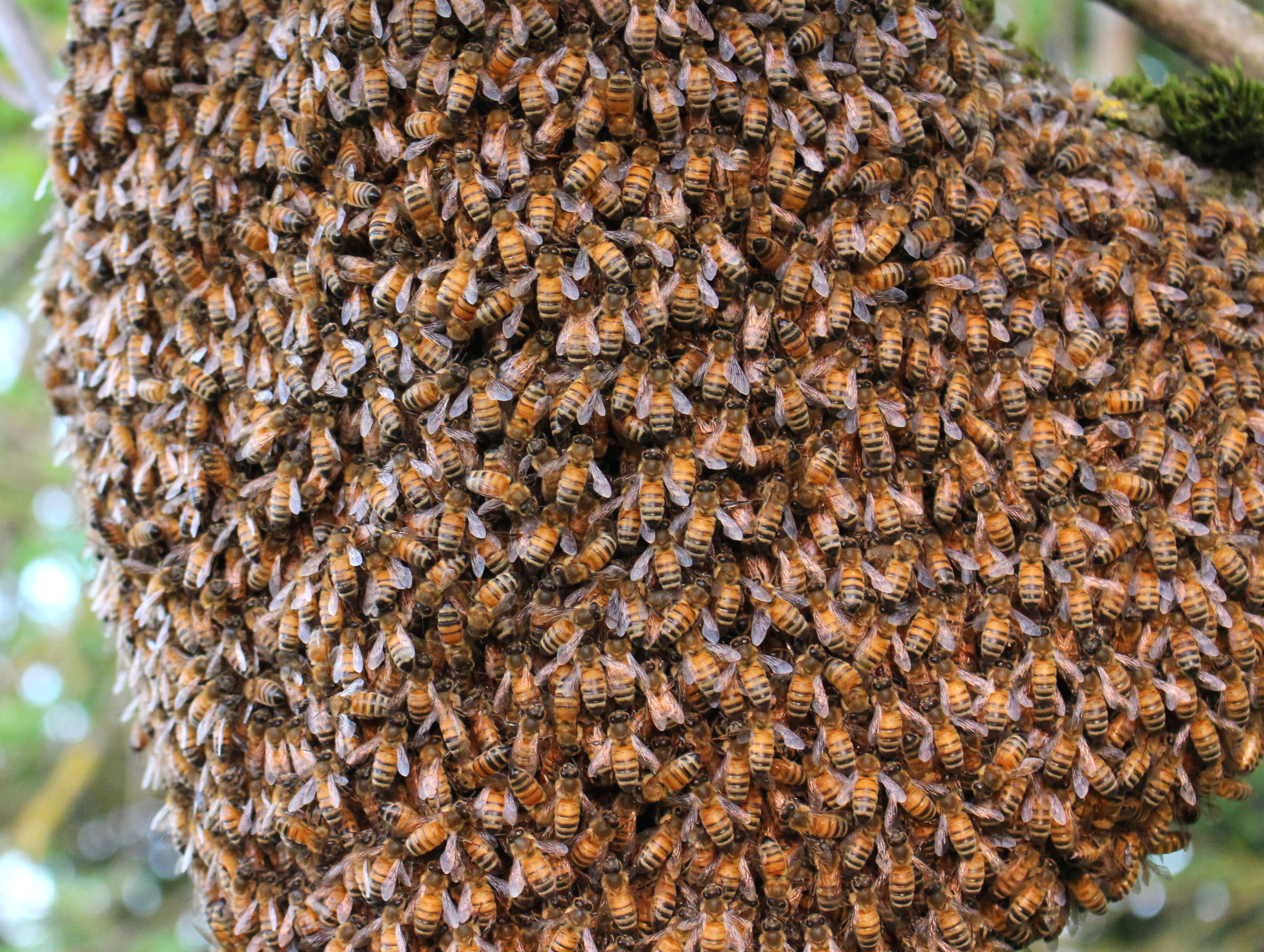 what do drone bees with Bee Swarm At Briarcroft on Pesticides Bees  plex besides Varroa Treatment also Little Horn Facaed Bees Mating additionally File Capped emergency supercedure queen cells of the honey bee in addition Funny1.