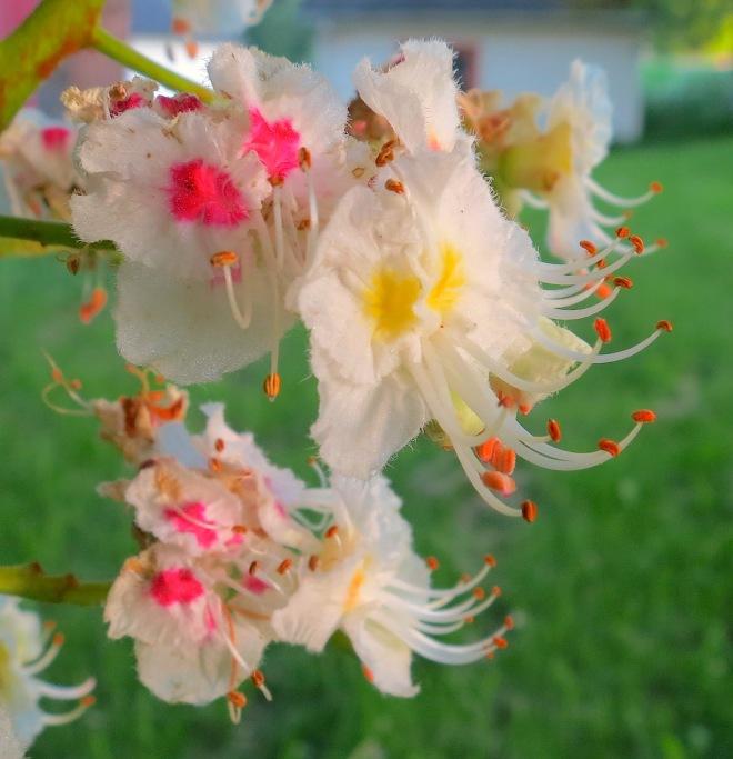 chestnutbloom
