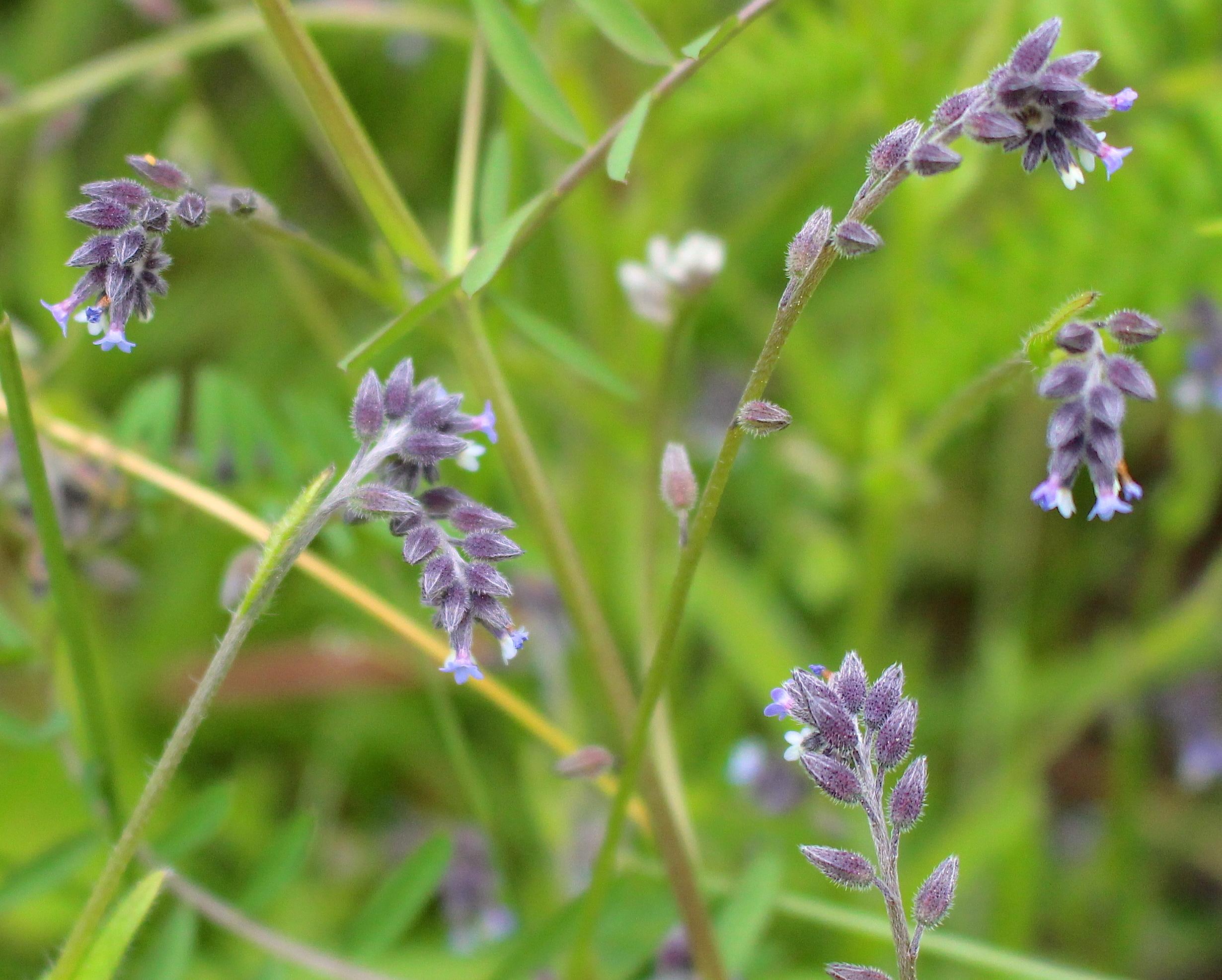 purpleweed3