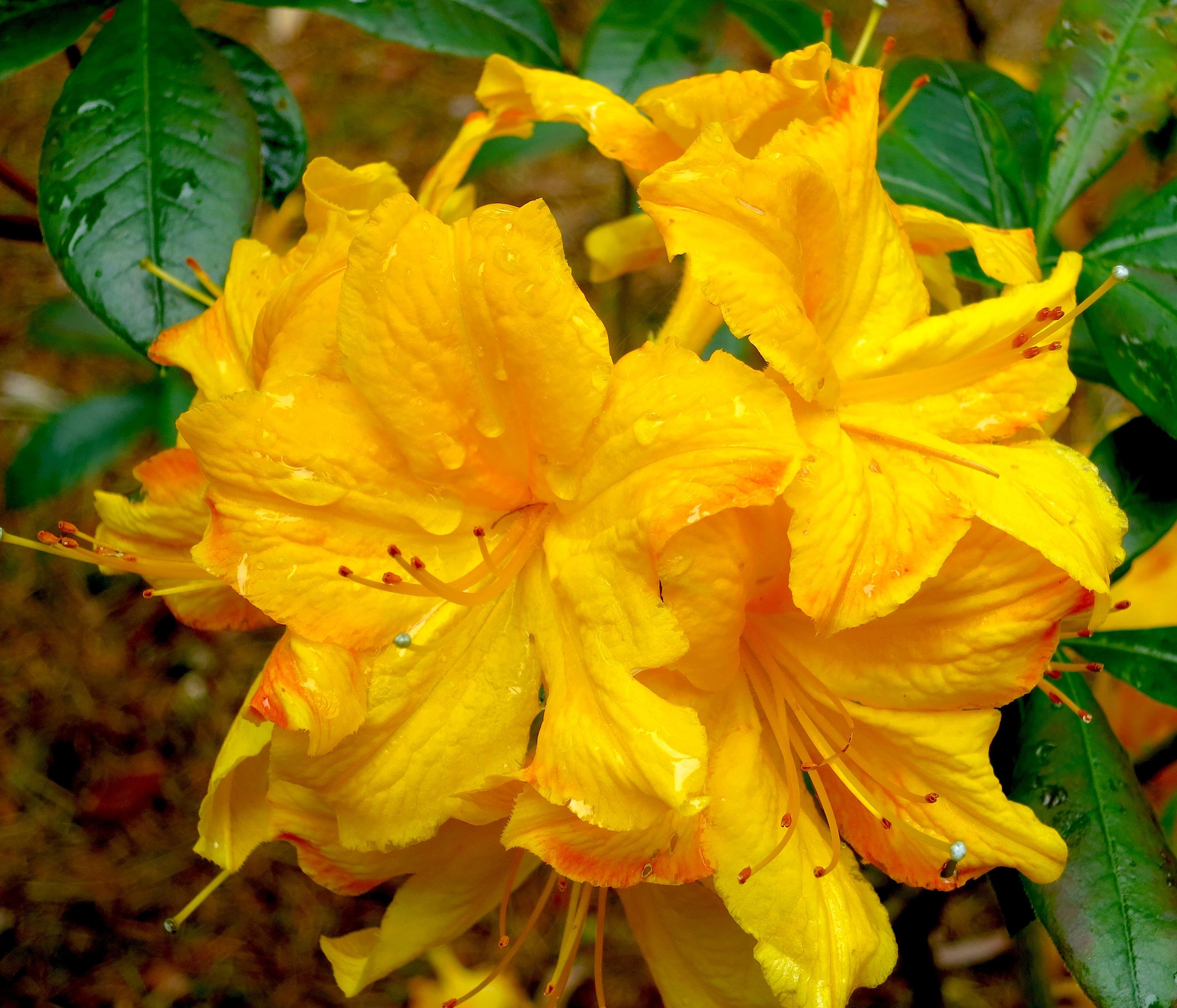 yellowazalea