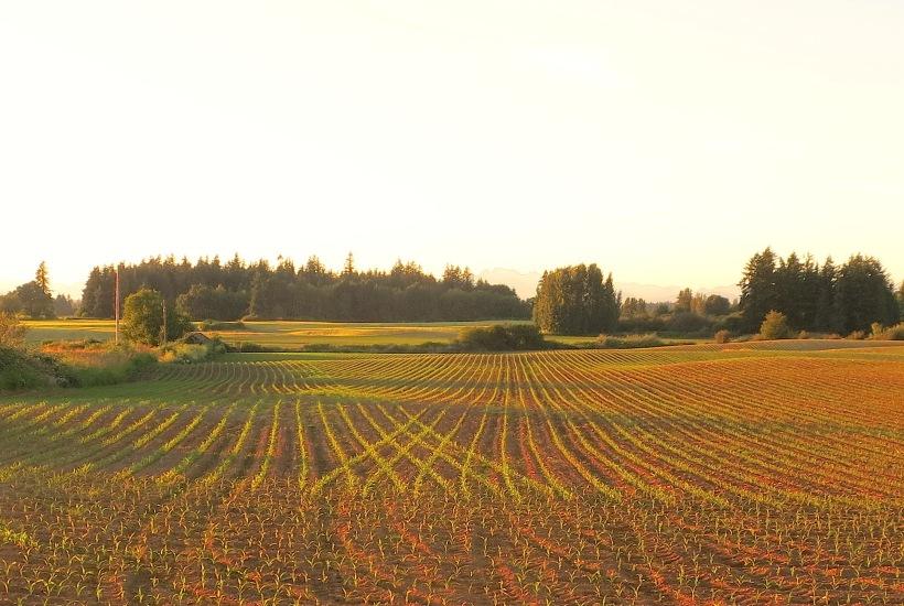 cornfieldcrisscross