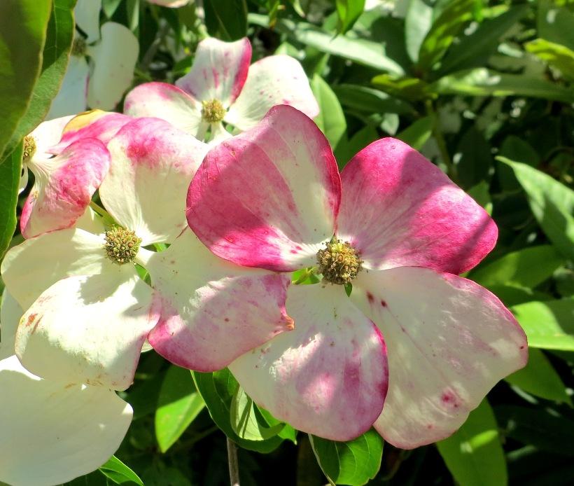 variegateddogwood