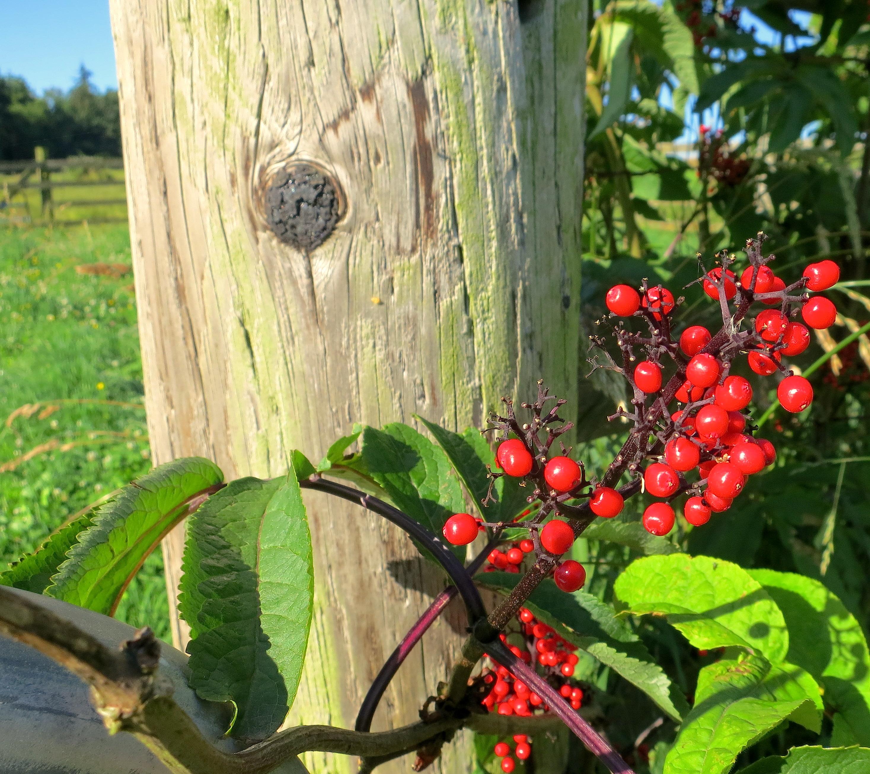 elderberrypost
