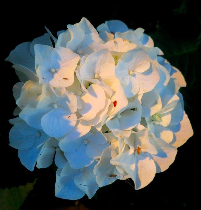 eveninghydrangea