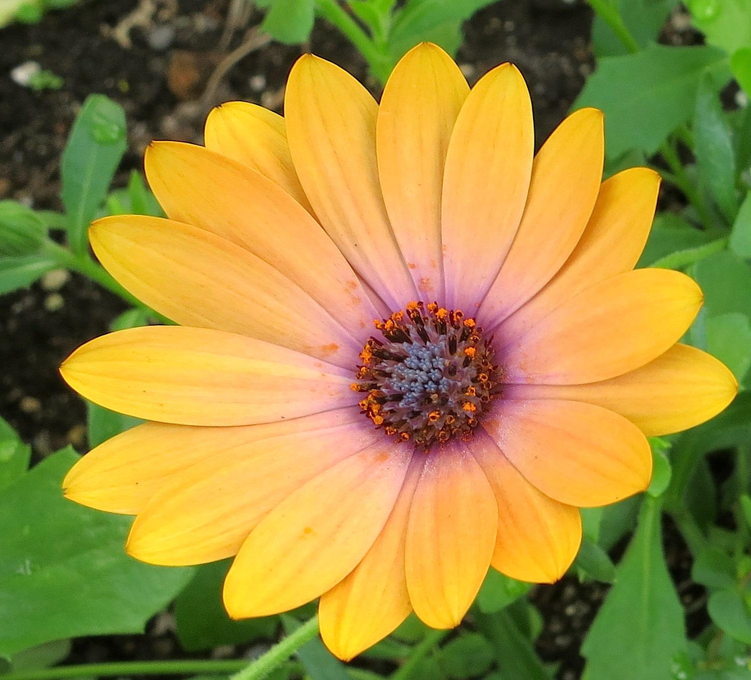 wwuflower