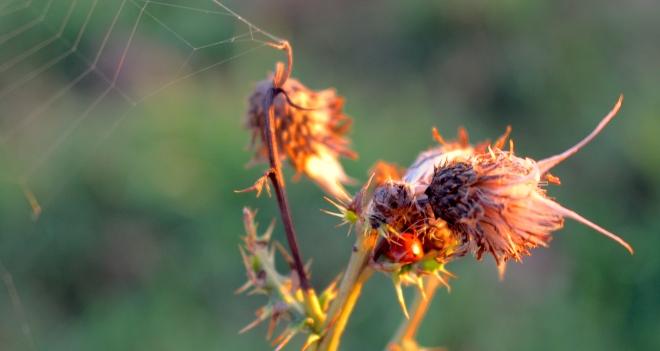 ladybugthistleweb
