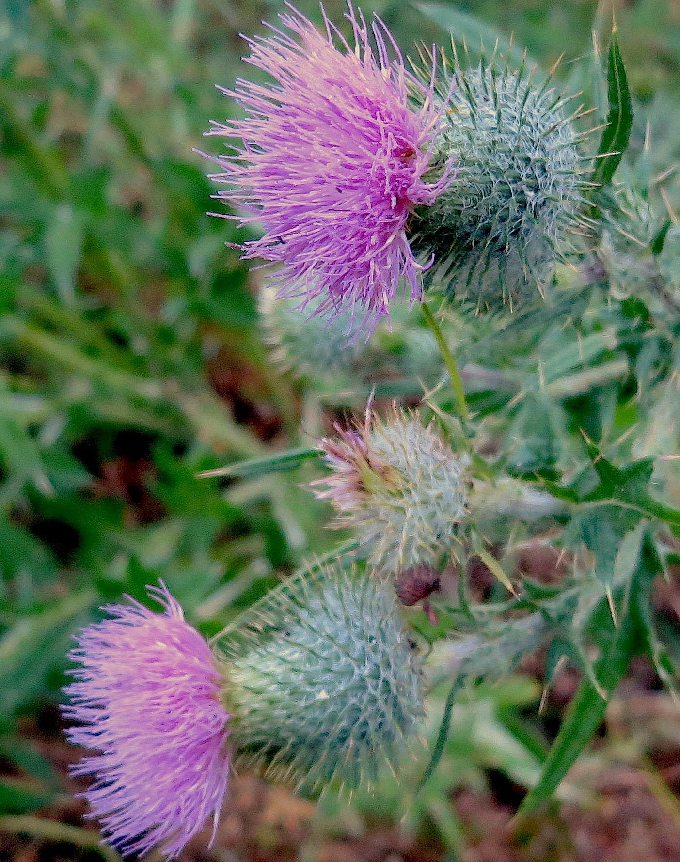 thistles ted hughes