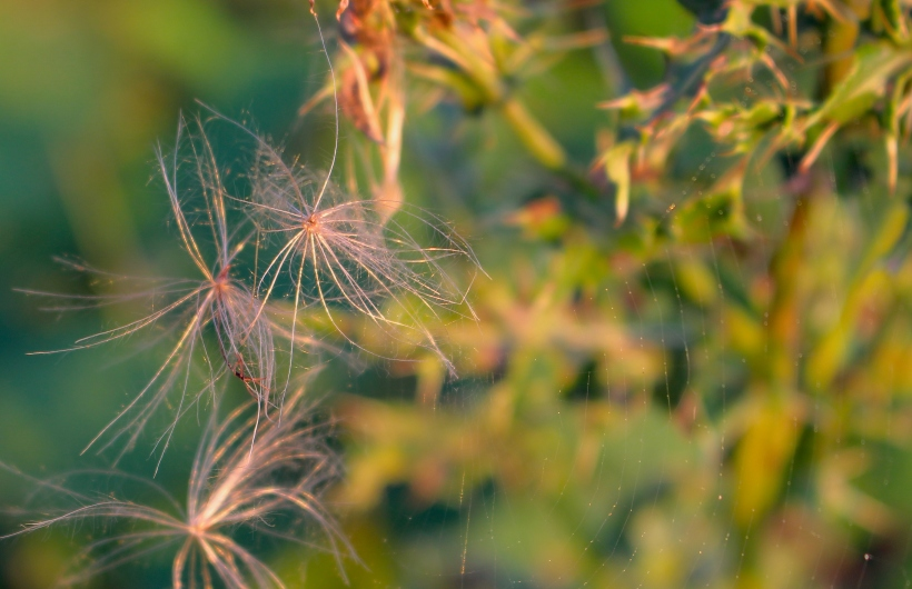 thistleweb