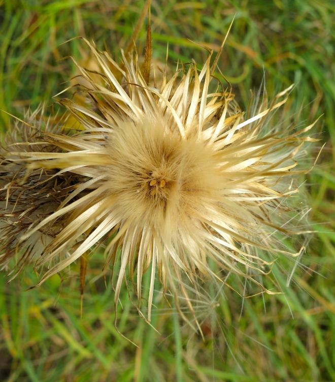 thistleweed