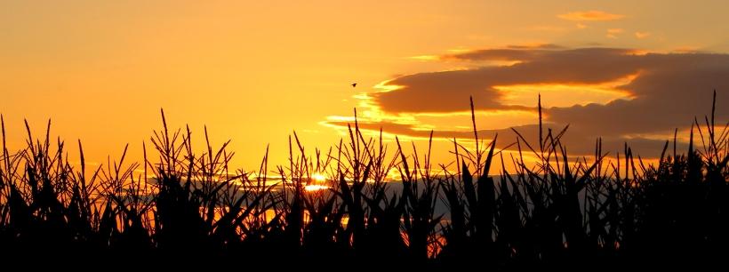 sunsetcornfield