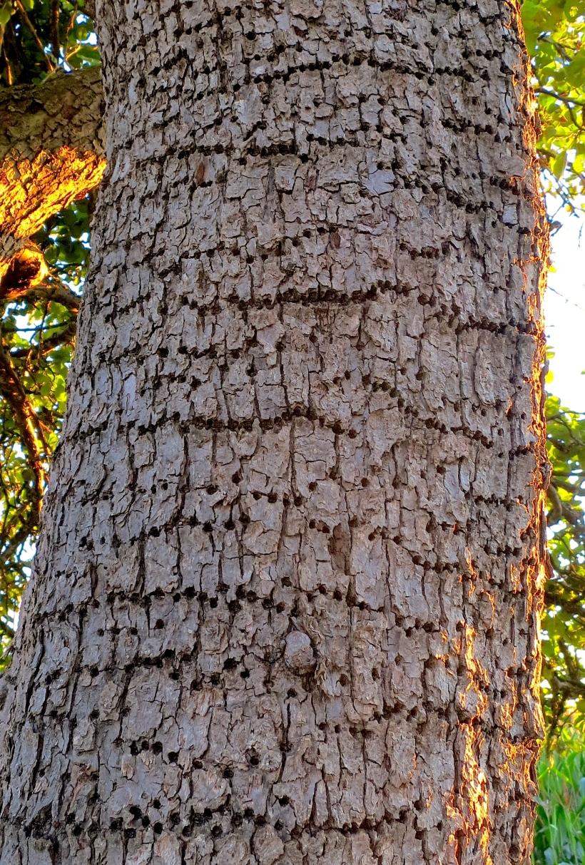 woodpeckerholes