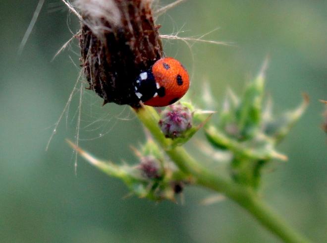 ladybug4