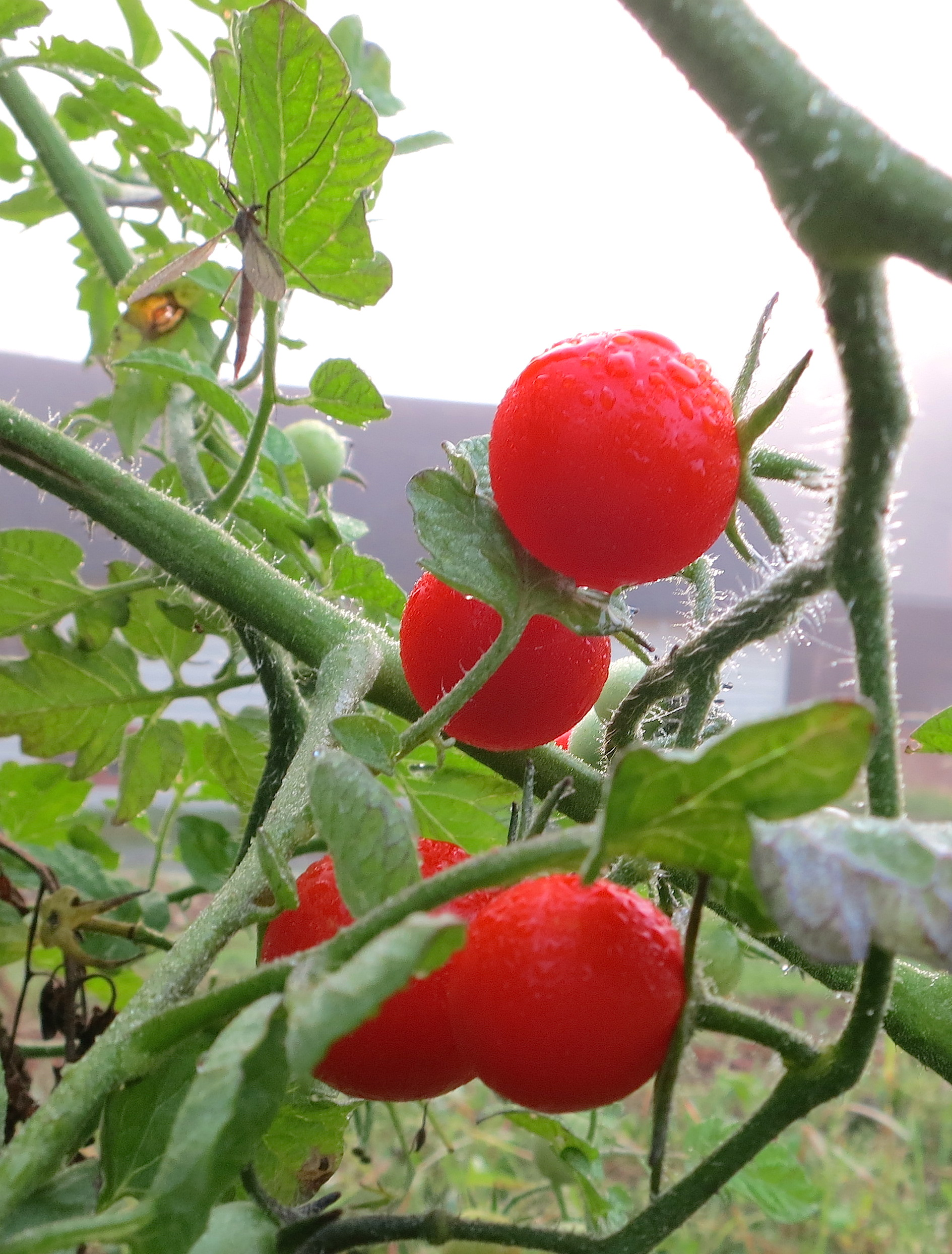 tomatobug
