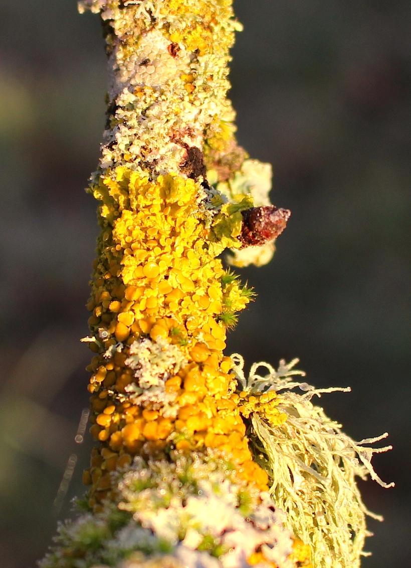 lichen2015