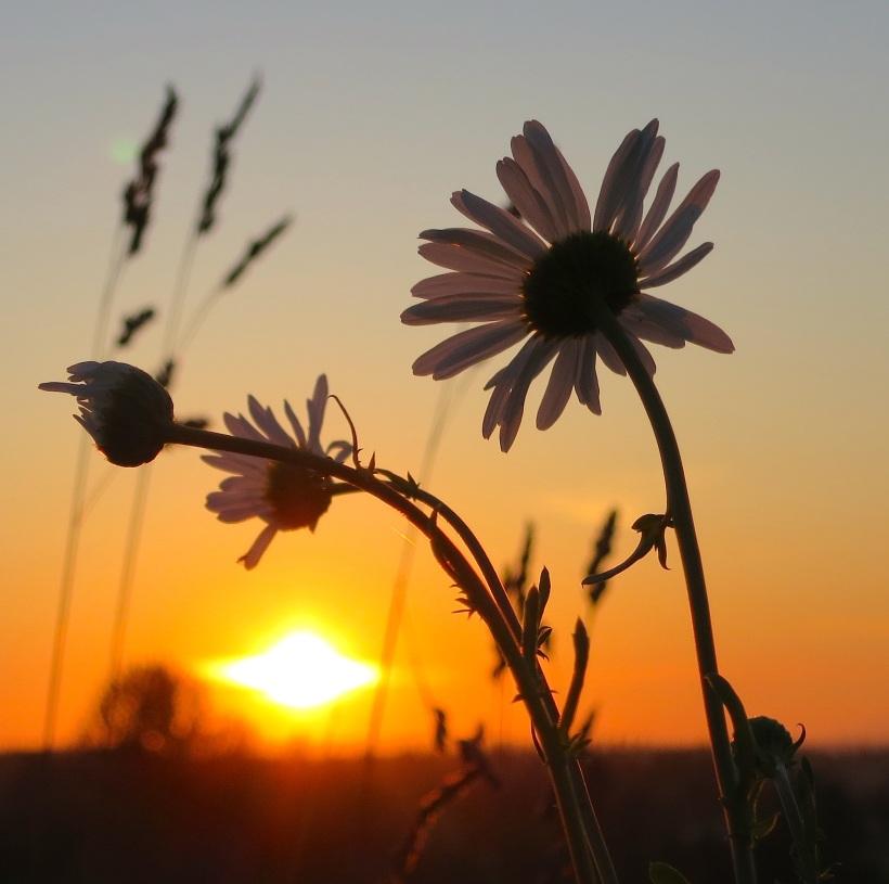 daisysun