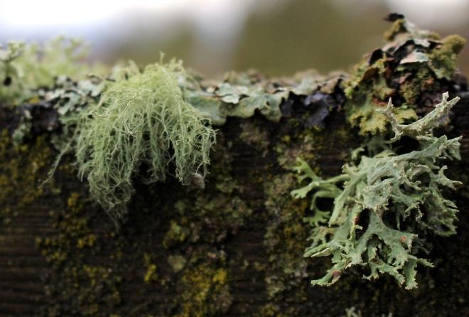 grayfencelichen