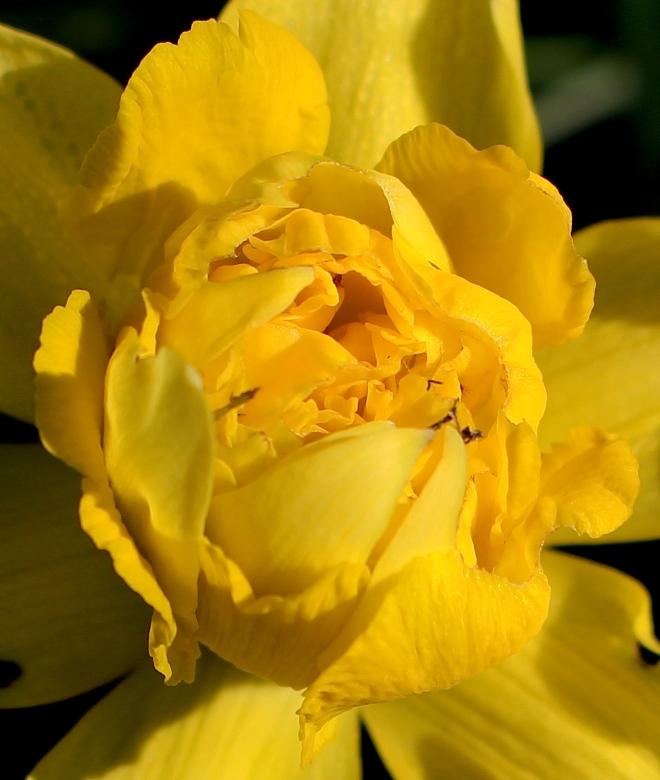 daffodil152