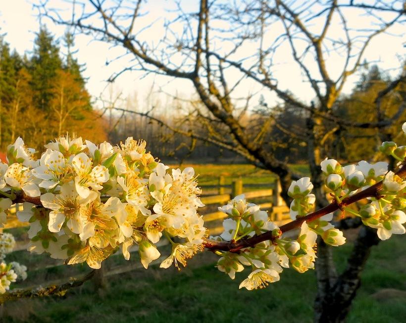 plumblossoms20151