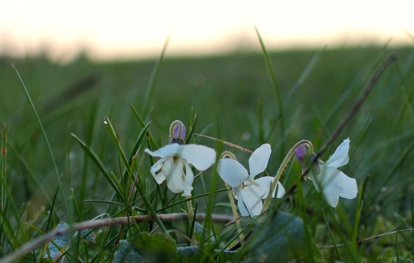 whiteviolets