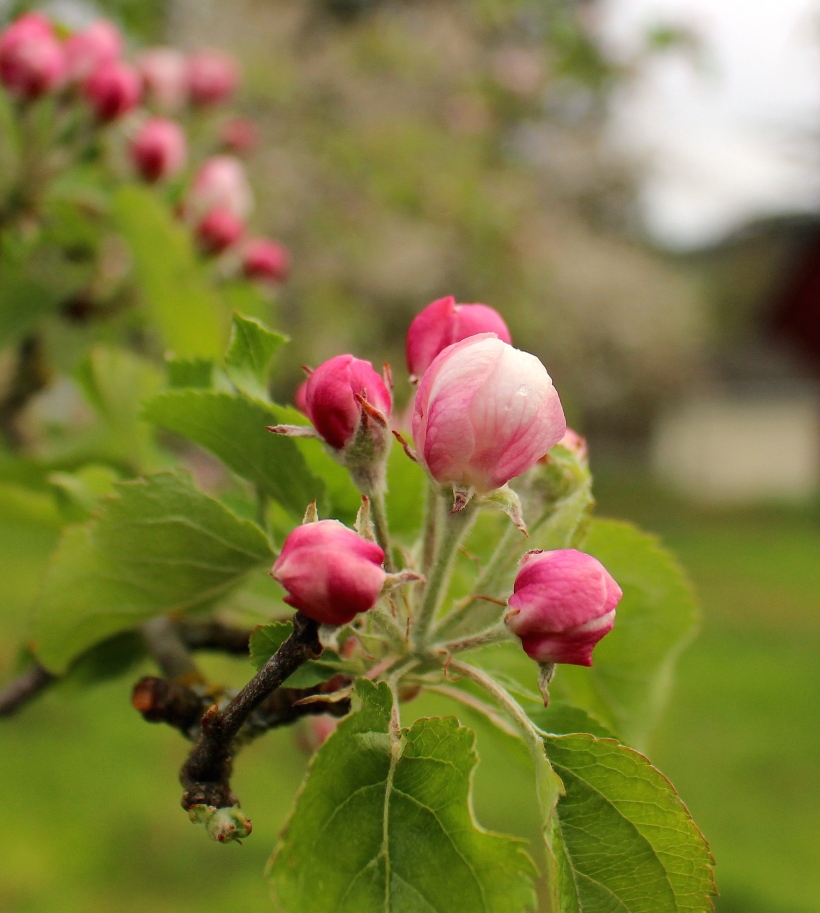 appleblossom6