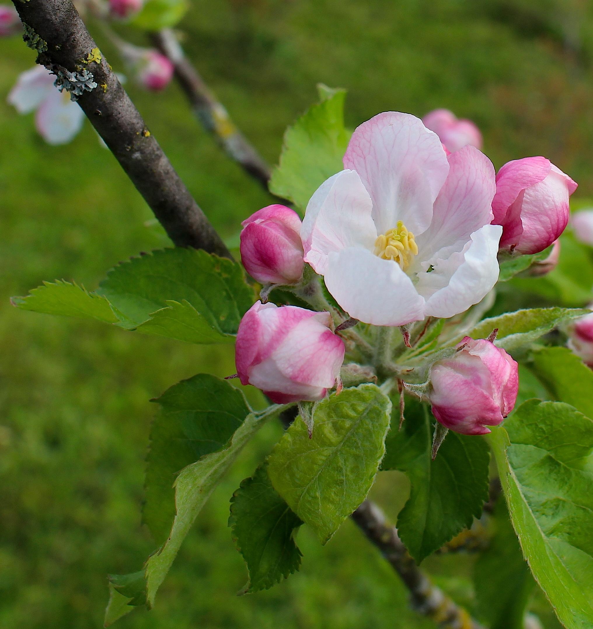 appleblossom8
