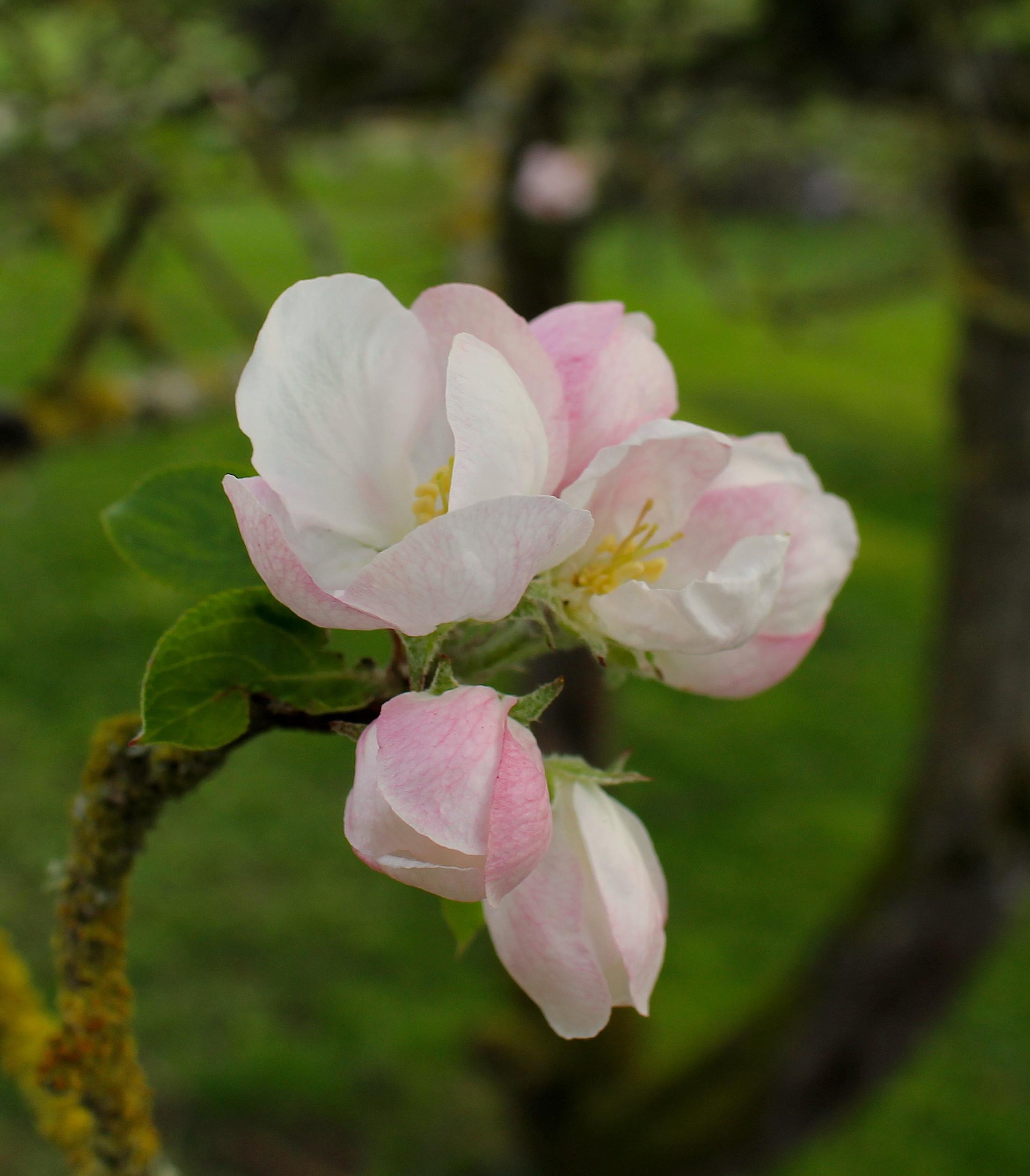 appleblossom9