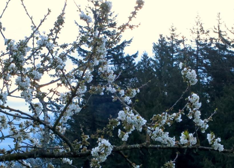 cherrymorning2