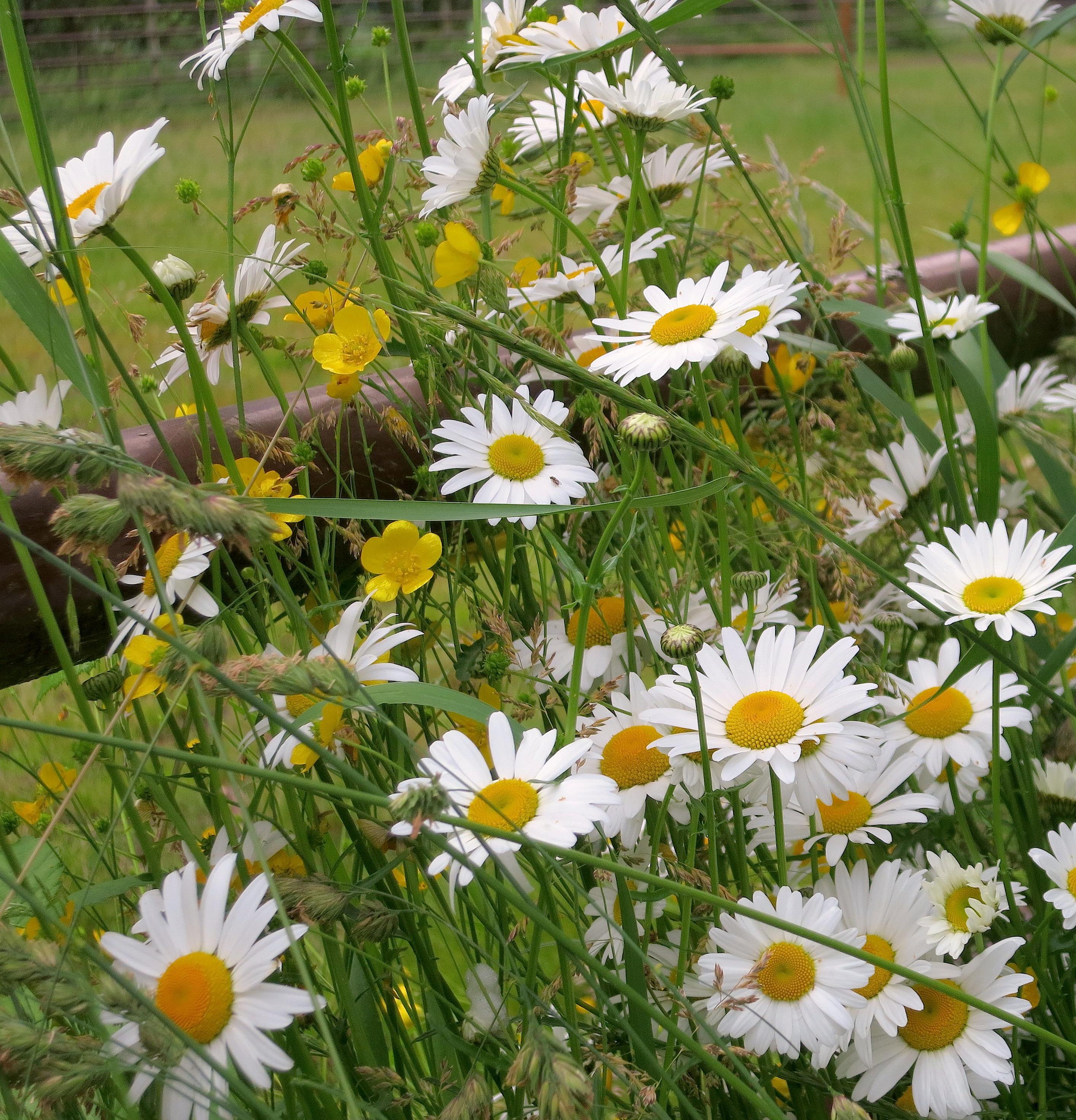 daisybuttercup