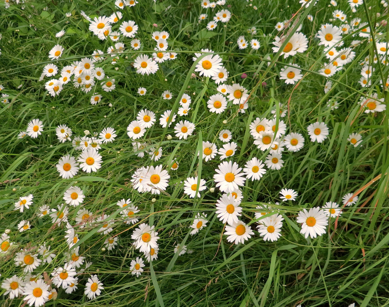 daisyfield