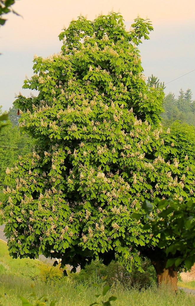 chestnutinbloom