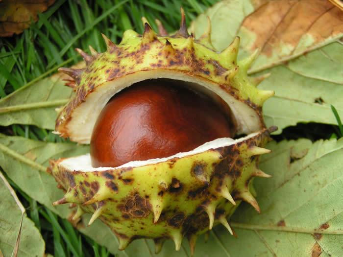 chestnutpod