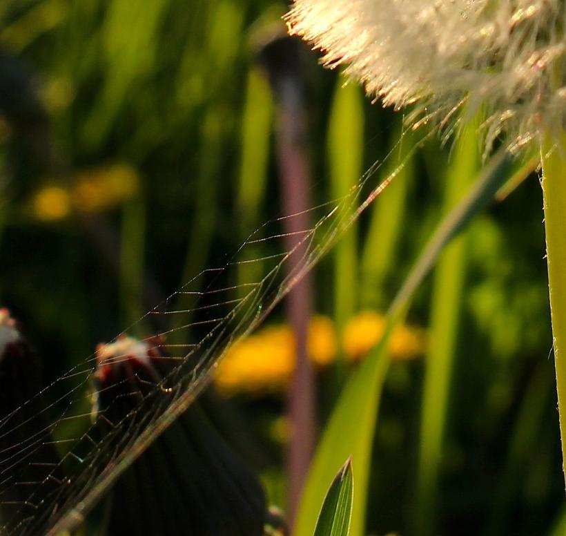 dandyweb
