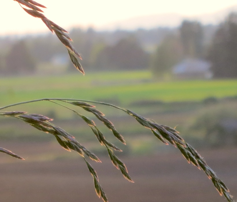 grasses51815