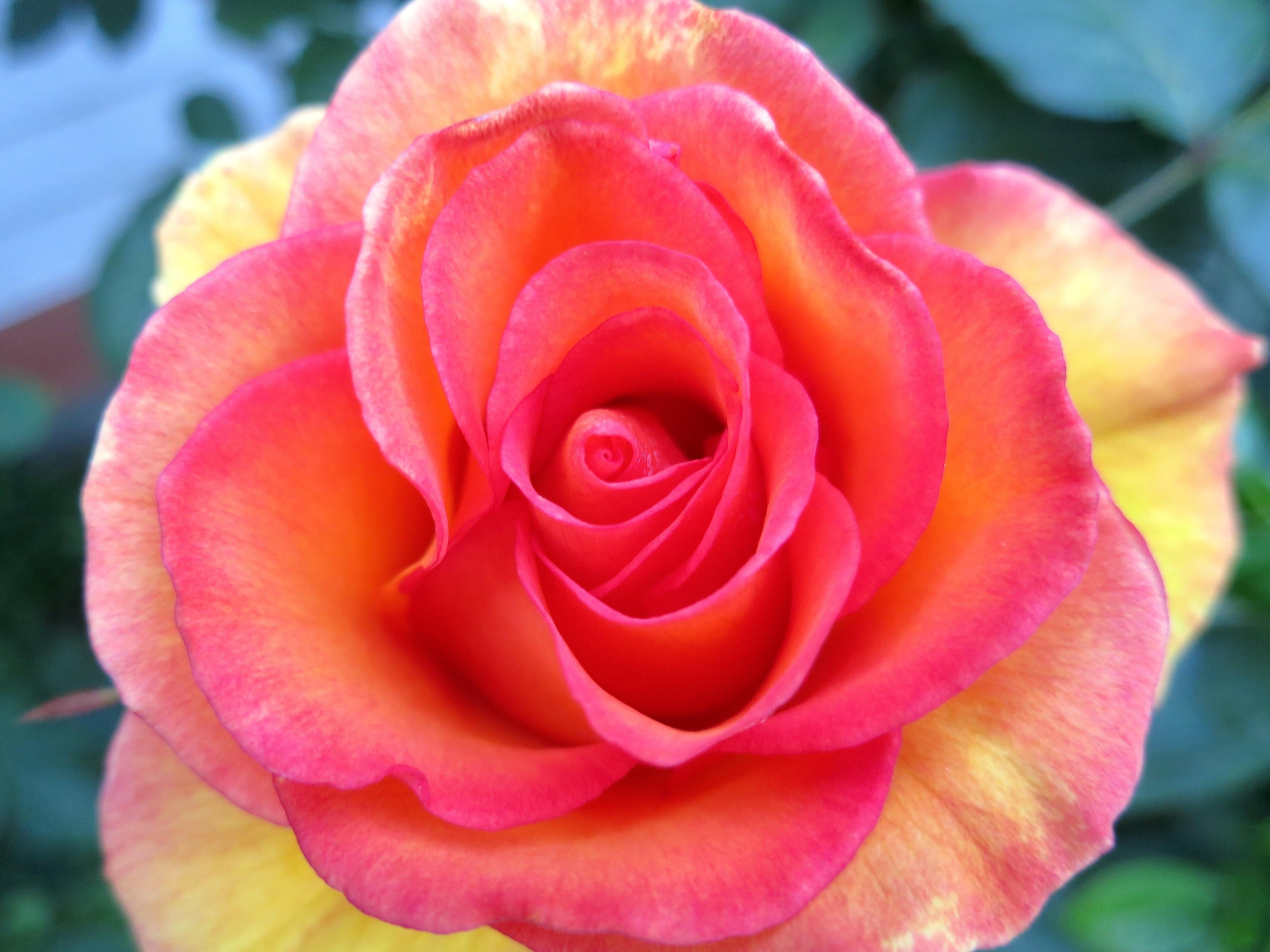 roseswirl2