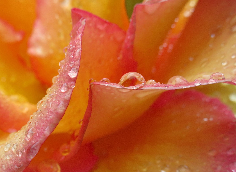 weepingrose