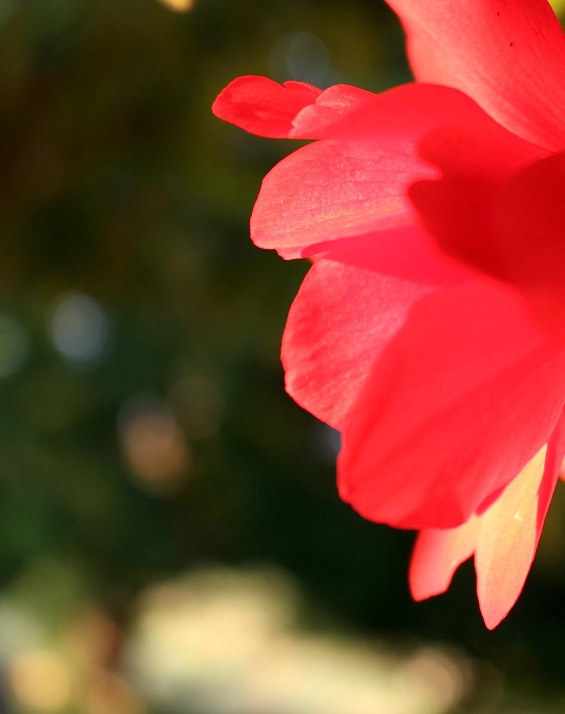 begonia622155