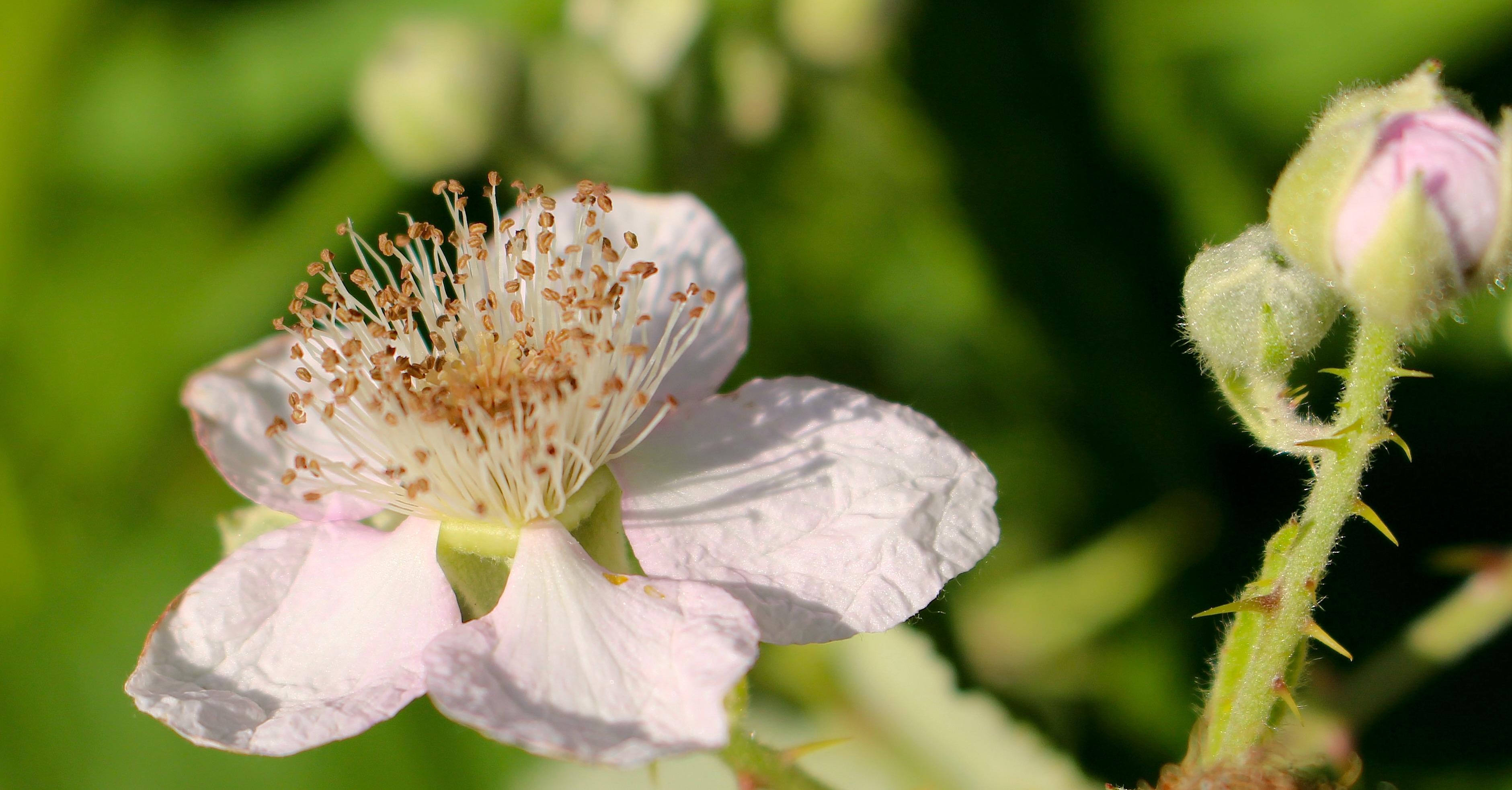 blackberrybloom