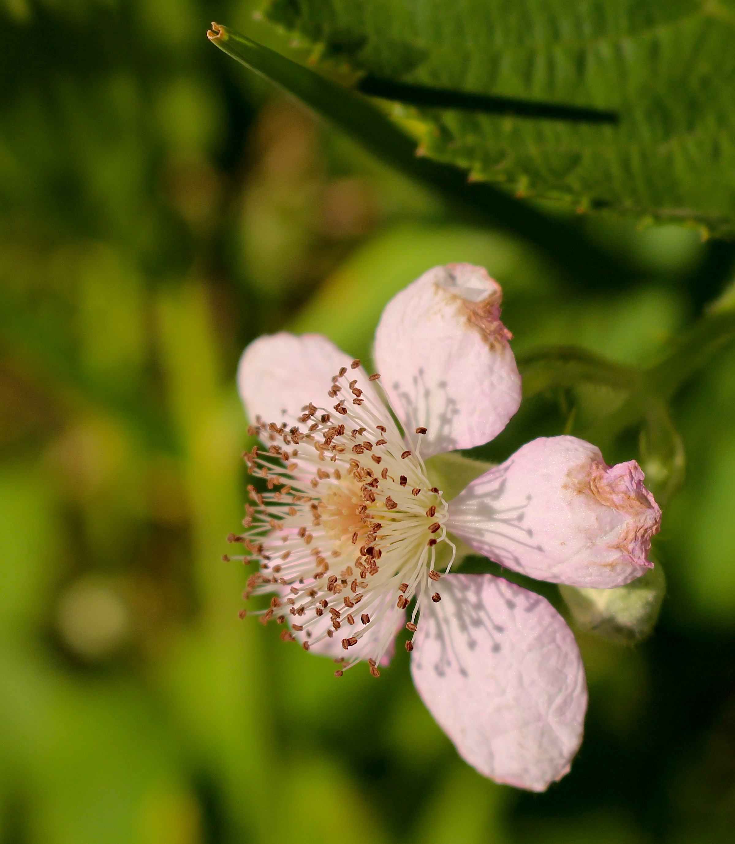 blackberrybloom2