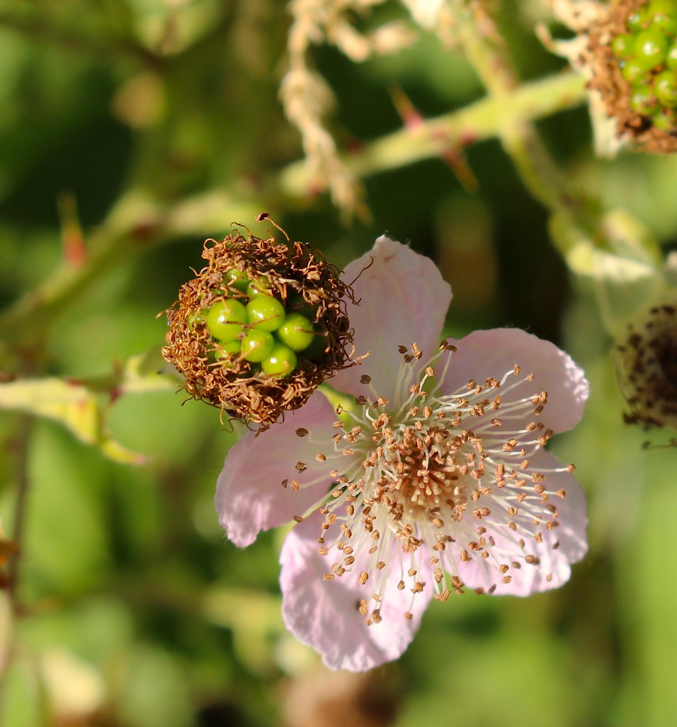blackberrybloom3