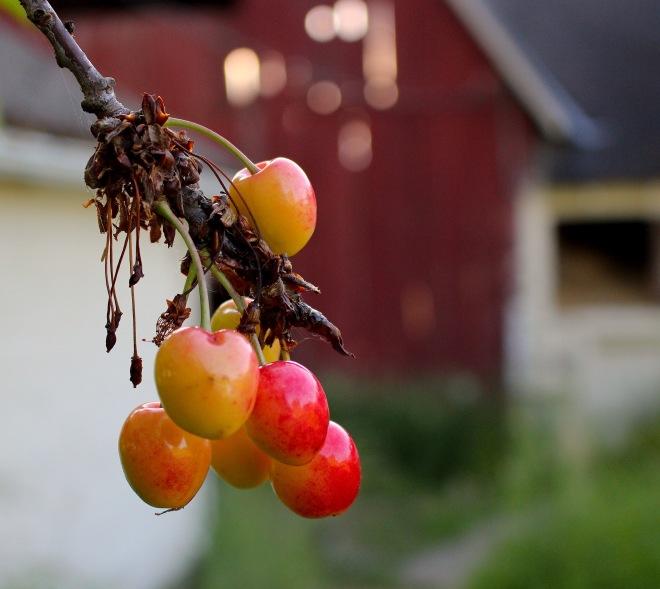 cherries6615