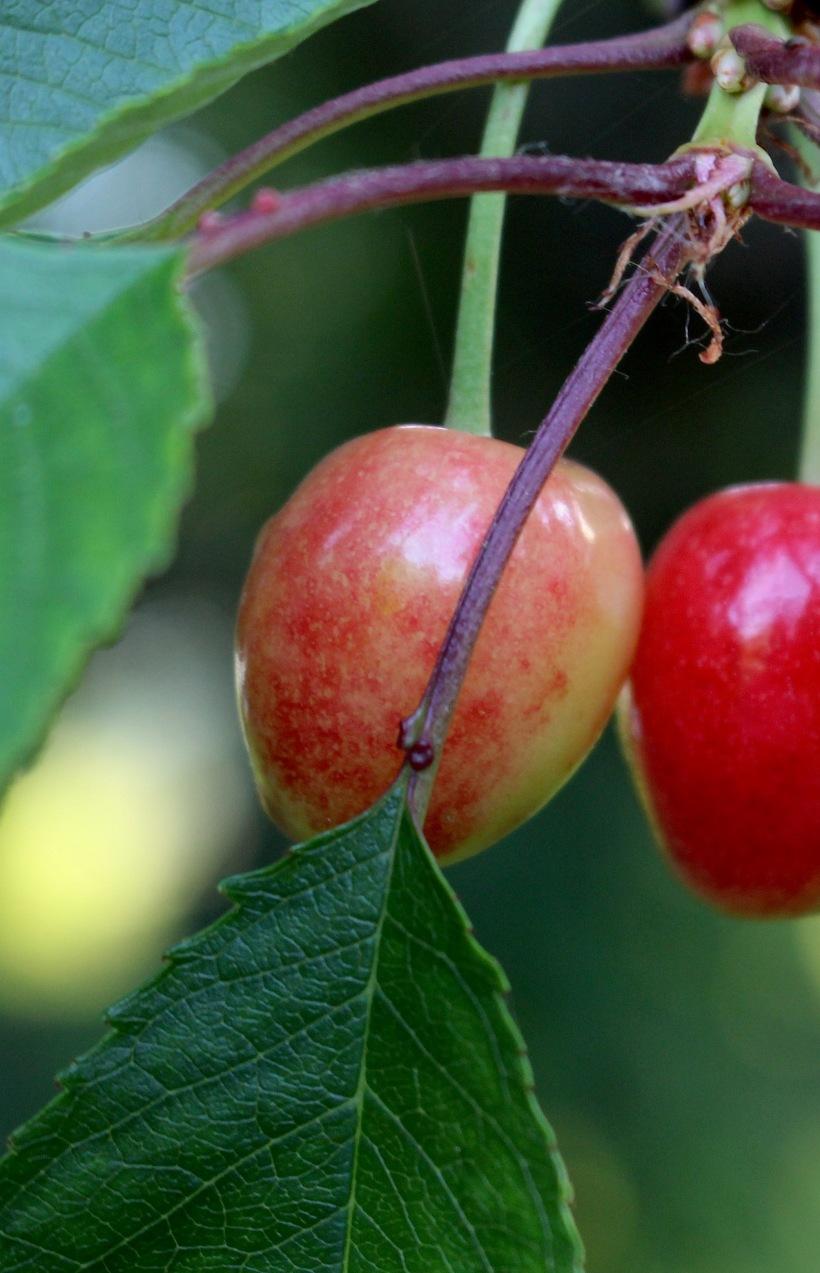 cherry615